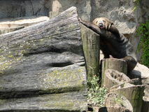 Rolig sova björn Royaltyfria Foton