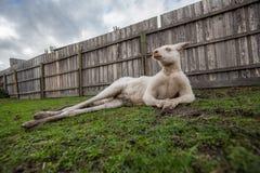 Rolig stående av albinokängurun Royaltyfria Bilder