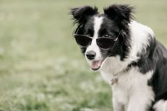 Rolig stående av den border collie hunden med solglasögon royaltyfri foto