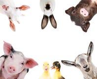 Rolig stående av en grupp av lantgårddjur royaltyfri fotografi