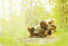 Rolig stolt spanielhund för konung som charles dogdancing fotografering för bildbyråer
