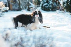 Rolig stolt spanielhund för konung som charles täckas med snö som spelar på gå i wintergarden Royaltyfria Bilder