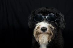 Rolig stubbsvansad engelsk fårhund Royaltyfri Fotografi