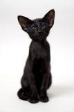 Rolig svart orientalisk kattunge Royaltyfria Foton