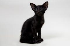 Rolig svart orientalisk kattunge Royaltyfria Bilder