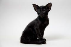 Rolig svart orientalisk två-månad kattunge Royaltyfri Fotografi