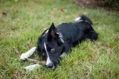 Rolig svartvit hund som ligger på grönt gräs och utomhus gnag en pinne Arkivbild