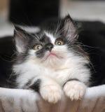 Rolig svartvit kattunge Arkivfoton