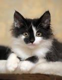 Rolig svartvit kattunge Fotografering för Bildbyråer