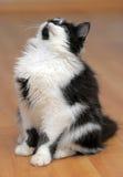 Rolig svartvit kattunge arkivbild