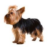 rolig terrier yorkshire Royaltyfria Bilder