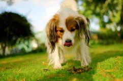 rolig tunga för gullig hund Arkivfoto