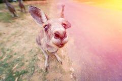Rolig ung östlig grå känguru Royaltyfri Bild