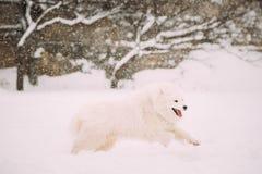 Rolig ung vit Samoyedhund eller Bjelkier, Smiley, Sammy Playing Royaltyfria Bilder