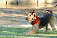 Rolig uppnosig airedaleterrierTerrier hund som är klar att spela Arkivfoton