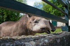 Rolig vänlig brasiliansk tapir Arkivfoto