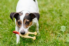 Rolig valp av Jack Russell Terrier som spelar med leksakgummifågeln Royaltyfria Bilder
