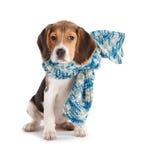 rolig valp för beagle Fotografering för Bildbyråer