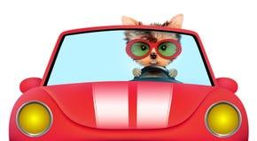 Rolig valp i cabrioleten med solglasögon Arkivfoton