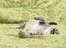 Rolig vila katt, sömnig katt, halv sömnig katt med öppna ögon som vilar på en soffa Royaltyfri Fotografi