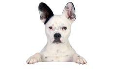 rolig white för svart hund Royaltyfria Bilder