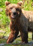 Roliga Alaska - vända mot den bruna Grizzlybjörnen Royaltyfria Bilder
