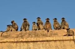 Roliga apor på templet Arkivbilder