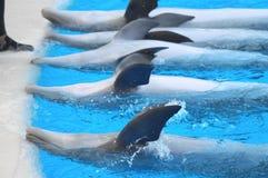 Roliga delfin Arkivfoto