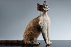 Roliga Devon Rex Sits i profilsikt på grå färger Royaltyfri Fotografi