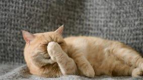 Roliga exotiska persiska Cat Laying On Bed arkivfilmer