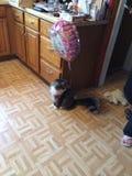 Roliga framsidor av George den busiga Mainecoon katten Arkivfoton