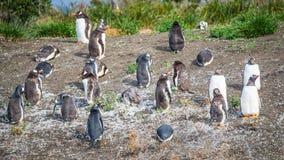 Roliga Gentoo pingvin på beaglekanalen i Patagonia, Tierra del Fotografering för Bildbyråer