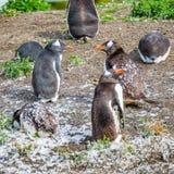 Roliga Gentoo pingvin på beaglekanalen i Patagonia, Tierra del Royaltyfria Bilder