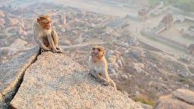 Roliga Grey Monkeys Play på stora stenar för gammal tempel lager videofilmer
