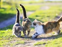 Roliga gulliga katter som spelar i det gröna gräset som anfaller sig royaltyfri foto
