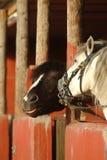roliga hästar Royaltyfria Foton