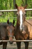 roliga hästar arkivfoton