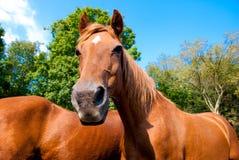 roliga hästar för framsida Arkivfoton