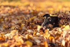 Roliga Jack Russell under en lövverkhög och blickar ut fotografering för bildbyråer