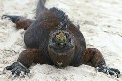 Roliga Marine Iguana royaltyfria bilder