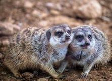 Roliga meerkats som spelar i öknen royaltyfri fotografi