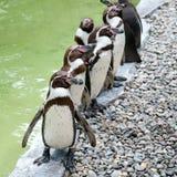 Roliga pingvin arkivbilder
