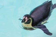 roliga pingvin Fotografering för Bildbyråer