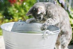 Roliga randiga kattlås i gården i en hink tafsar fisksplas Arkivfoto