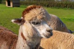 Roliga seende alpacas på lantgården arkivfoto