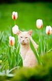 roliga sittande tulpan för kattfält Royaltyfria Foton