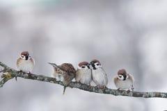 Roliga små fåglar som sitter på en kall vinter för filial Arkivfoto