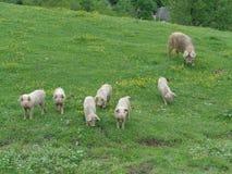 Roliga små spädgrisar och stort svin på grön äng Royaltyfri Bild