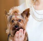 Roliga Yorkshire Terrier på händer Royaltyfri Fotografi