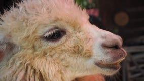 Roligt alpacaleende och tänder aloud royaltyfri fotografi